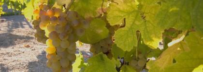 Vine Godello