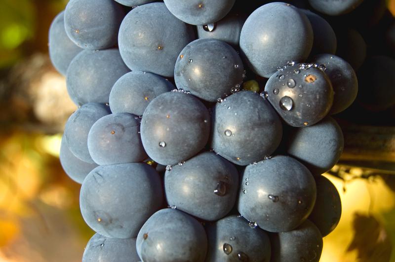 Resultado de imagen de tempranillo uva